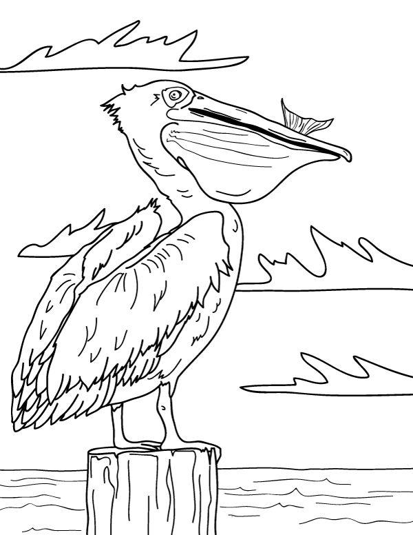 Sea Pelican Coloring Page