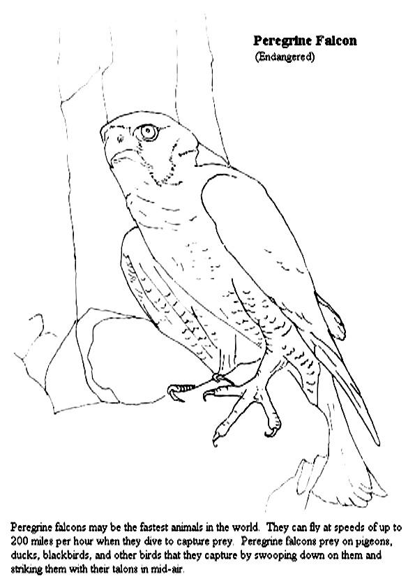 Falcon Coloring Sheet