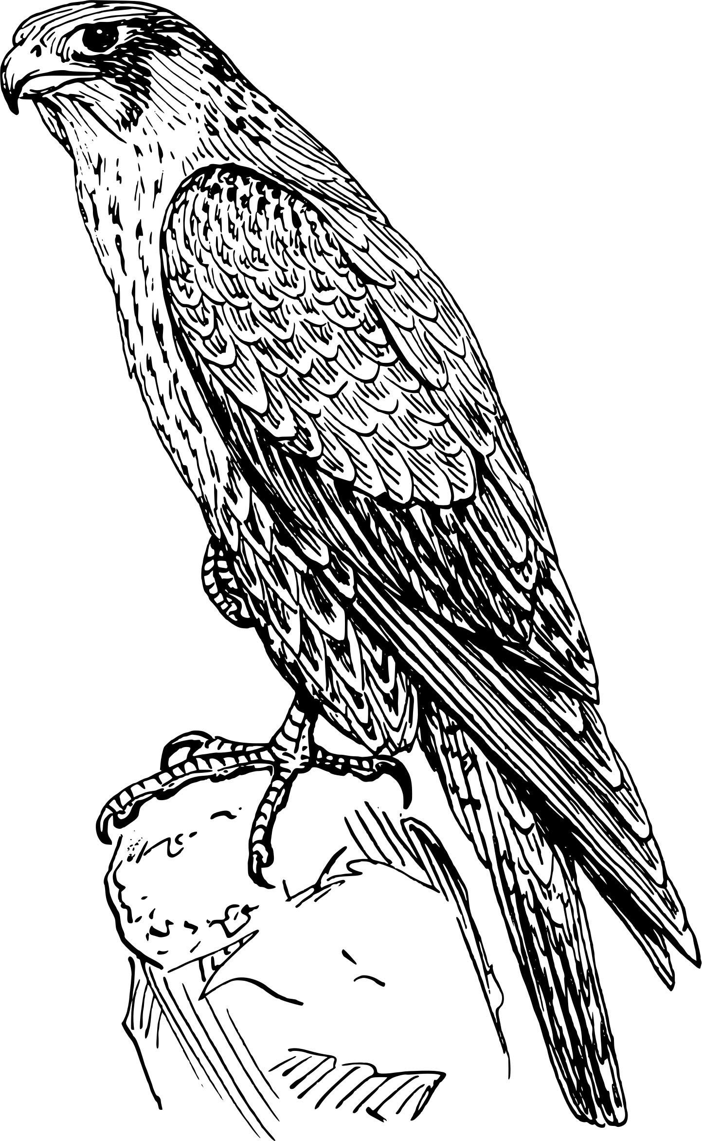 Realistic Falcon Coloring Page