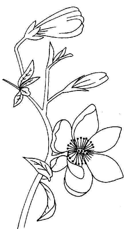 Magnolia Flower Coloring Pages