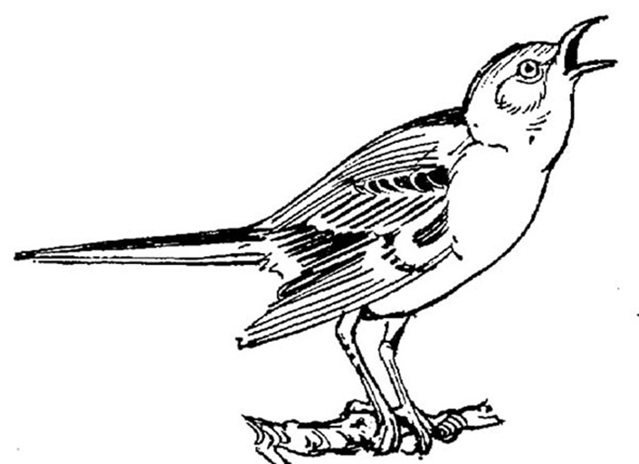 Chirping Mockingbird Coloring Pages