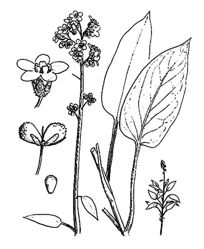 Lavender Plant Coloring Page