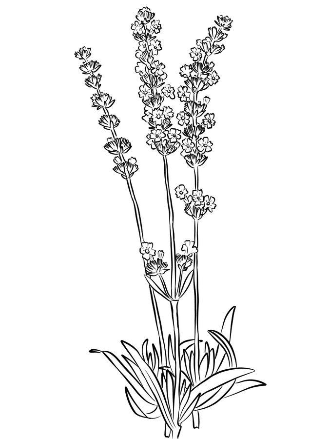 Lavender Printable Coloring Page