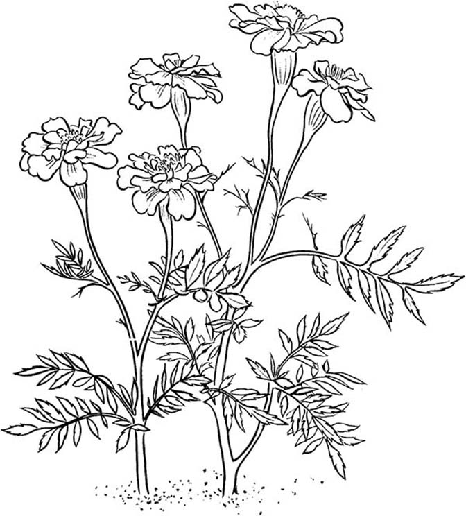 Marigold Plants Coloring Pages