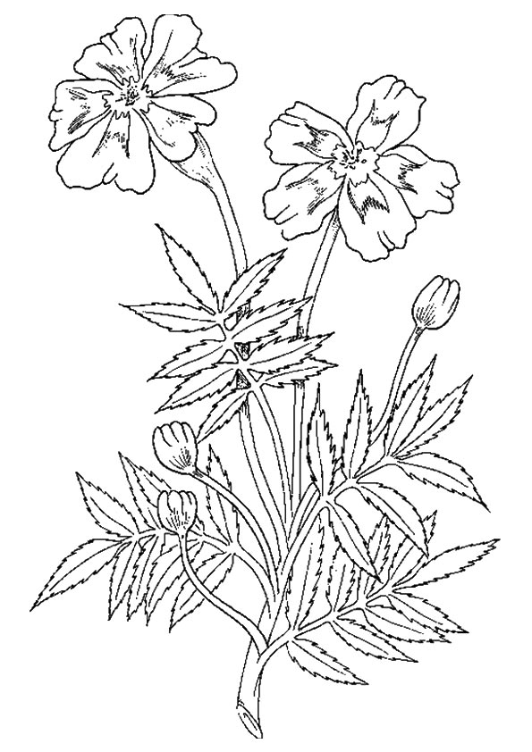 Marigold Printable Coloring Pages