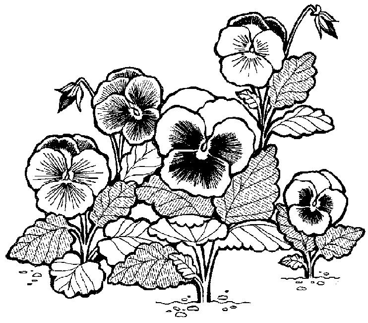 Pansies Flowers Coloring Page