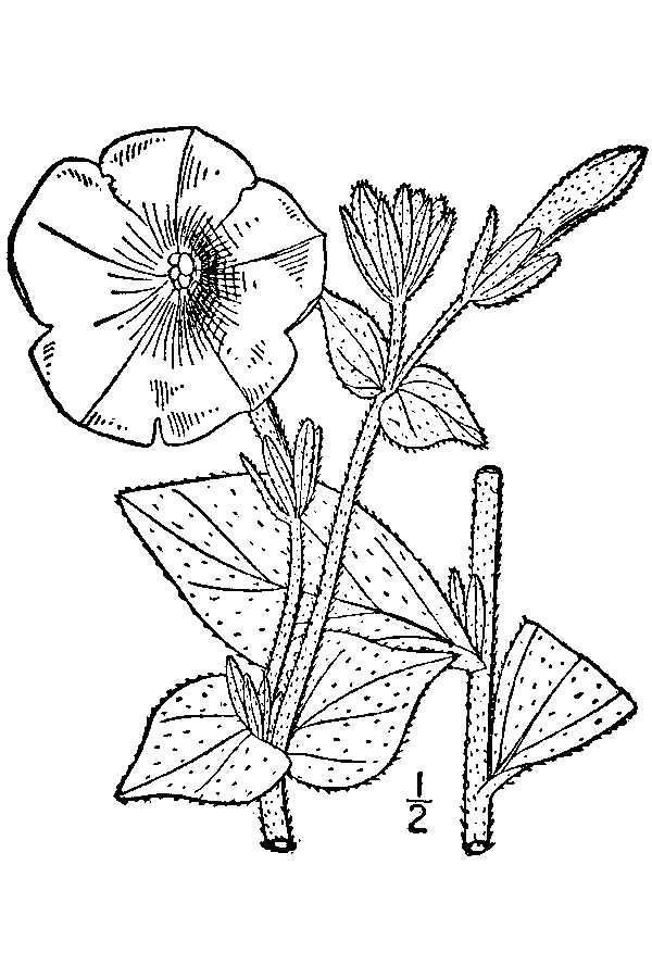 Petunia Coloring Page