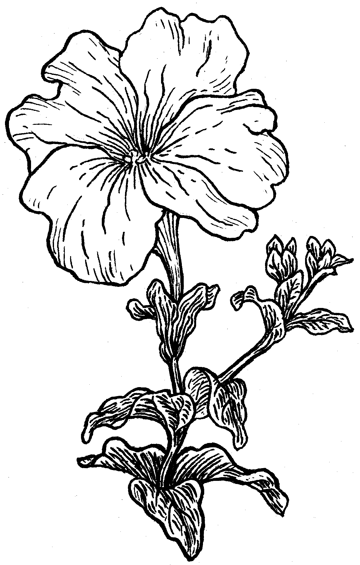 Petunia Flower Coloring Page