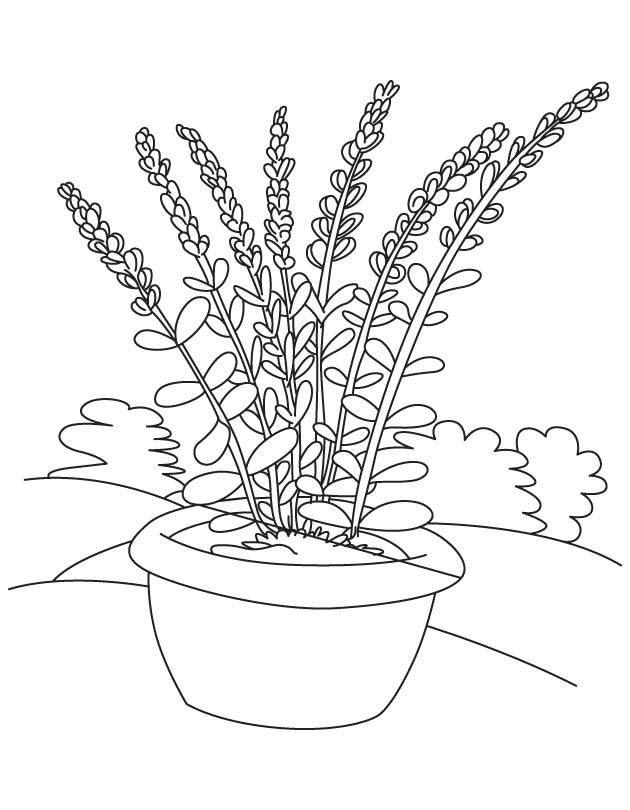 Potted Lavender Coloring Pages