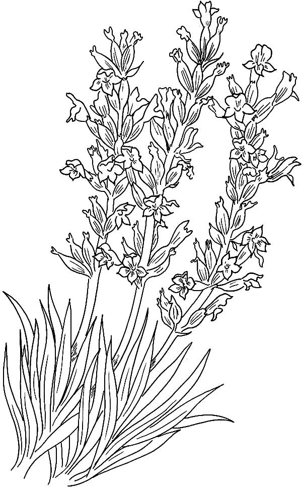 Pretty Lavender Coloring Pages