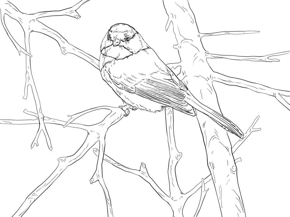 Realistic Chickadee Coloring Pages