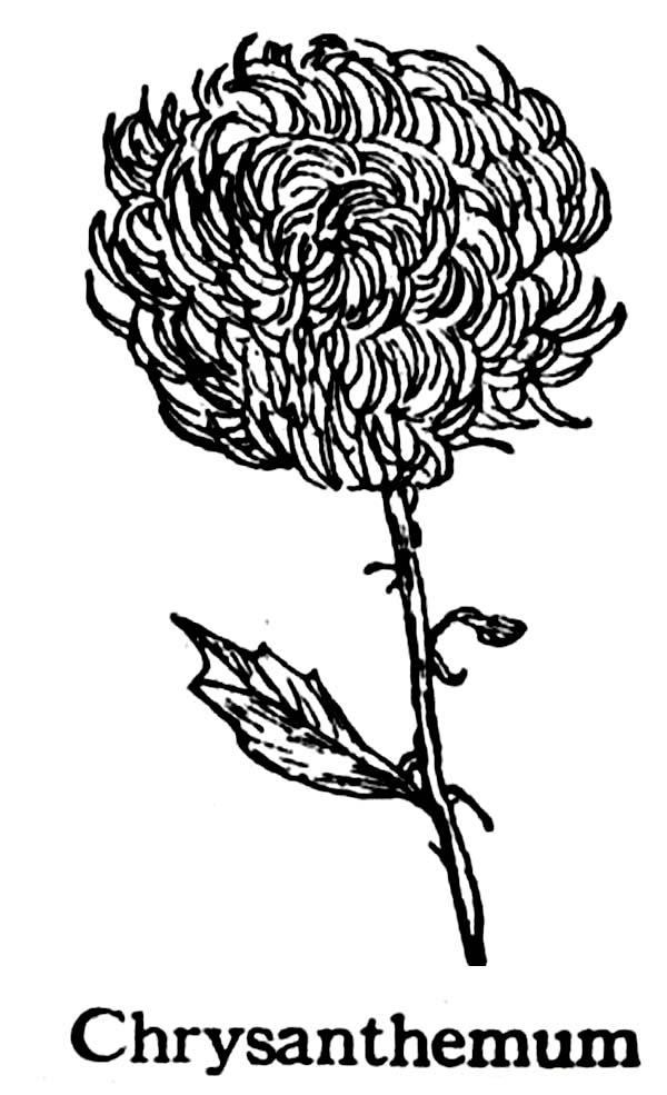 Chrysanthemum Coloring Sheet