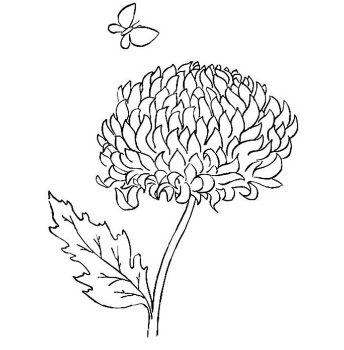 Chrysanthemum And Butterfly Coloring Pages