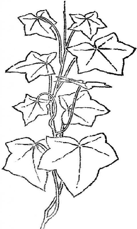 Ivy Coloring Pages