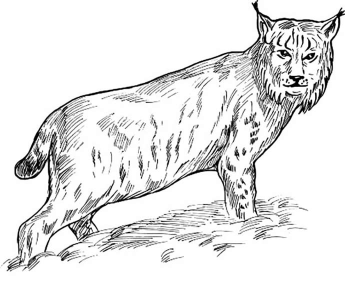 Lynx Cat Drawing To Color