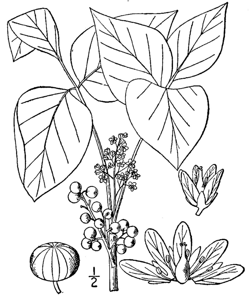 Plant Leaves And Berries Coloring Page