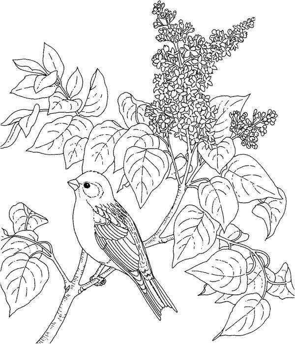 Bird On Lilac Bush Coloring Pages