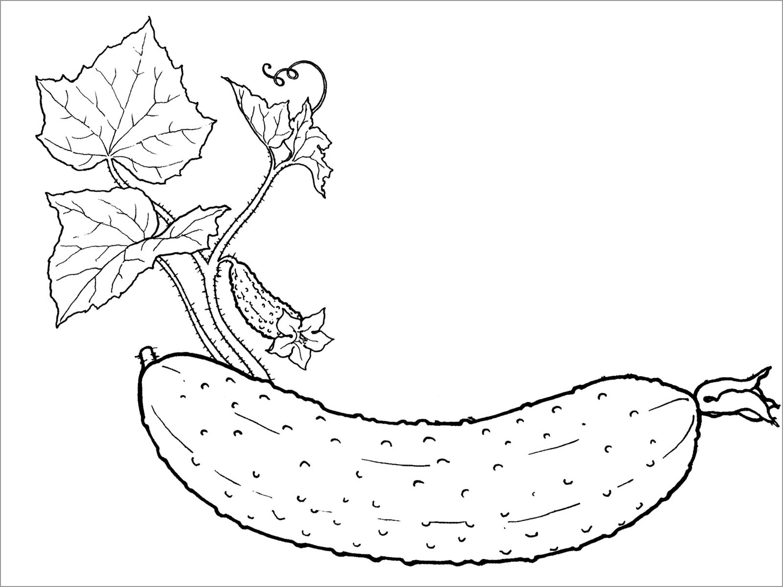 Cucumber Vine Coloring Pages