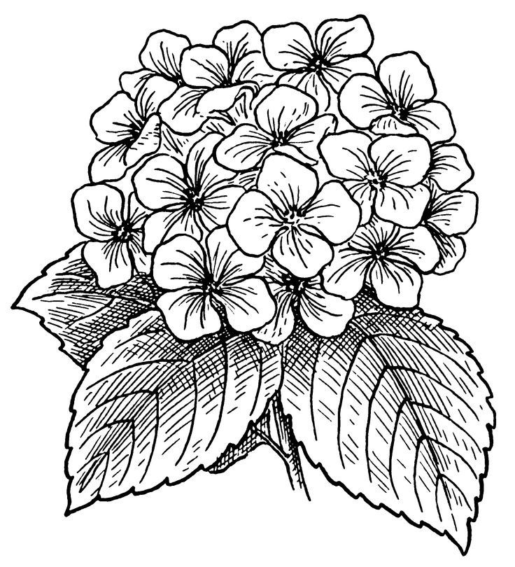 Detailed Hydrangea Flower Coloring Pages