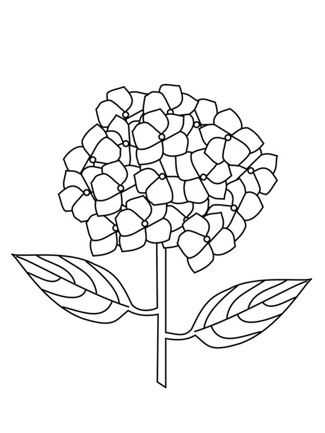 Hydrangea Coloring Pages