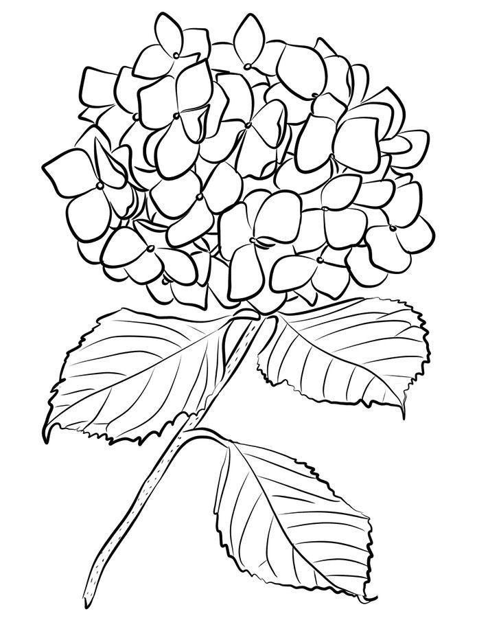 Hydrangea Printable Coloring Pages