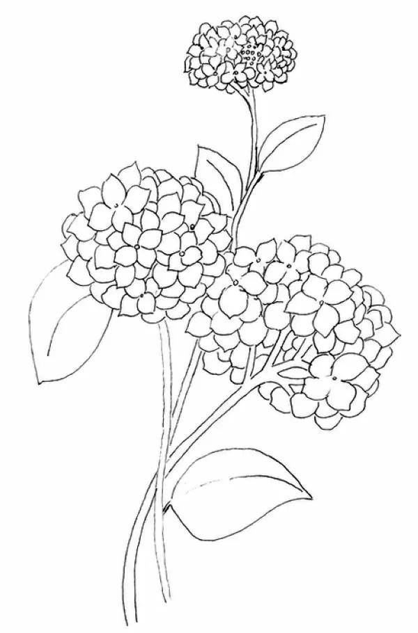 Hydrangeas Coloring Pages