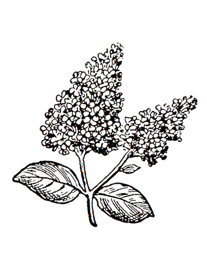 Lilac Flower Coloring Pages