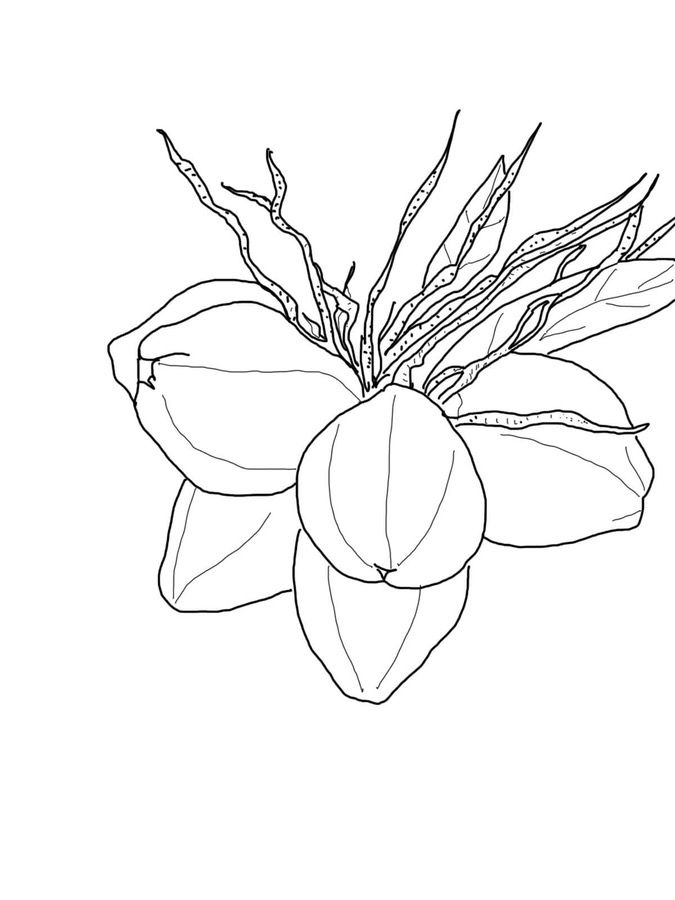 Coconuts Coloring Pages