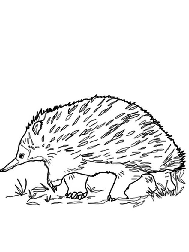 Echidna Coloring Pages