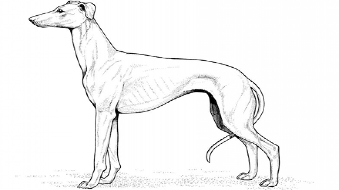 Greyhound Coloring Pages