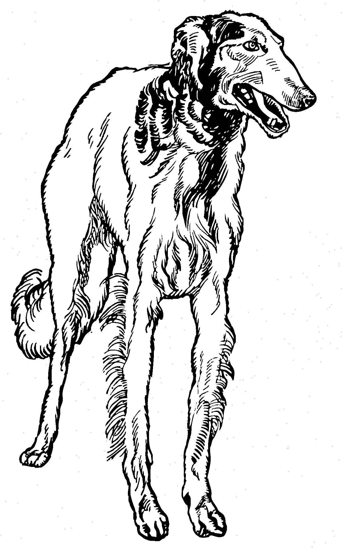 Greyhound Dog Coloring Page