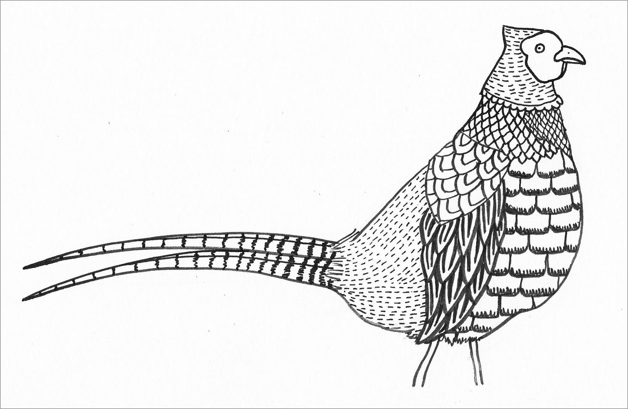Pheasant Bird Oloring Page