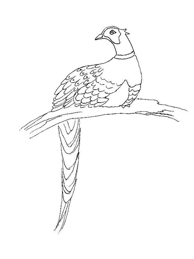 Pheasant Coloring Pages