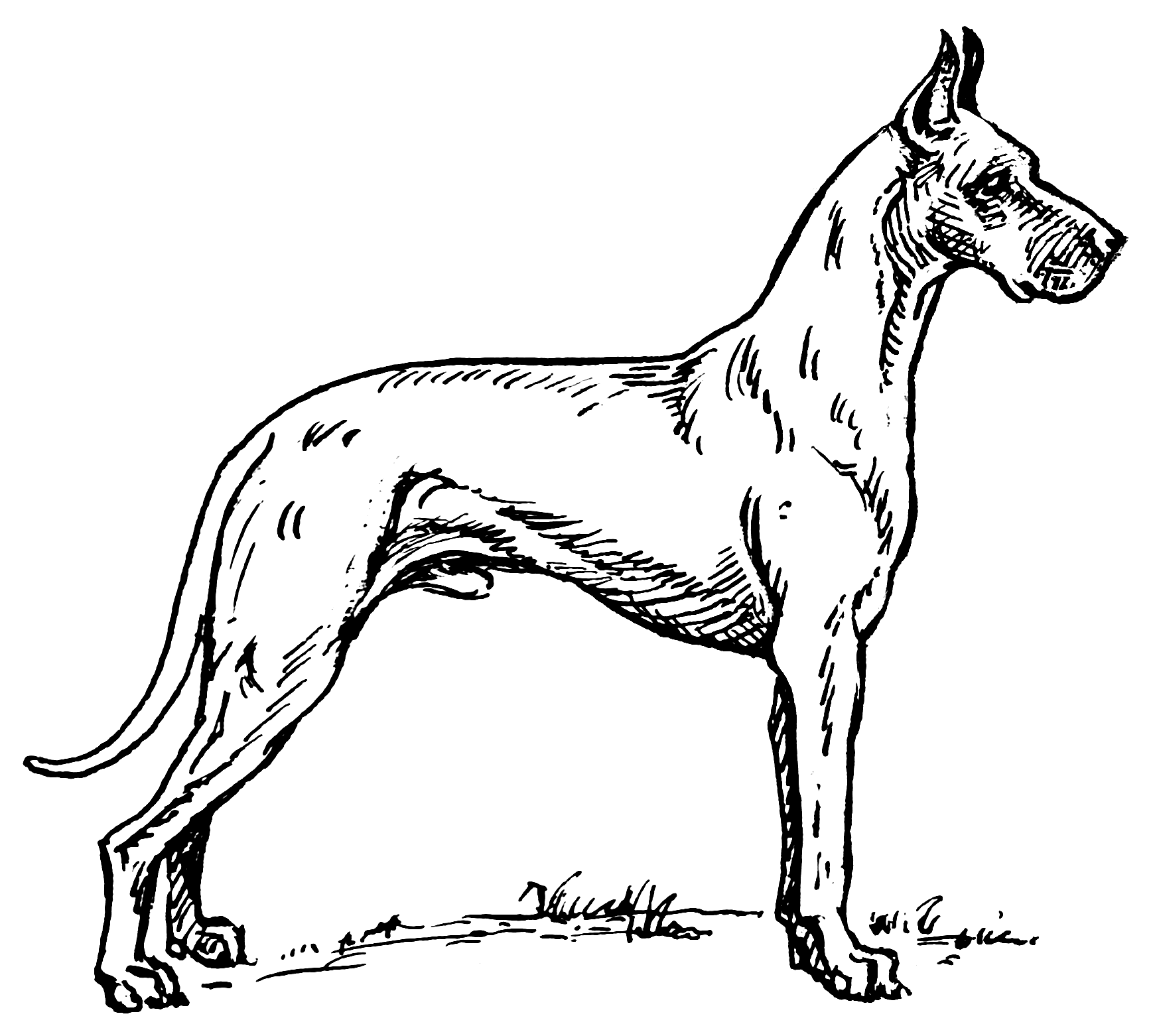 Realistic Great Dane Coloring Pages