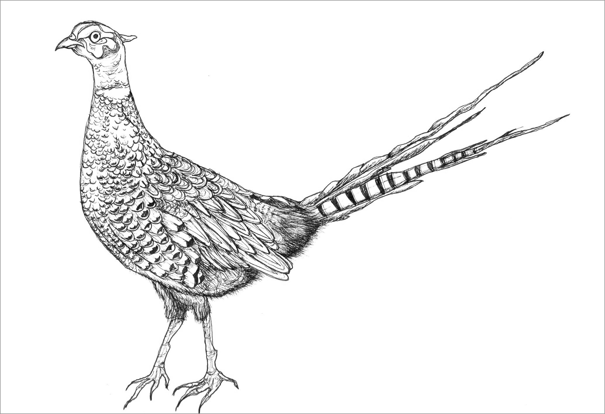 Realistic Pheasant Coloring Page