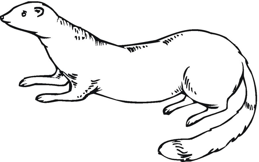 Ferret Coloring Pages