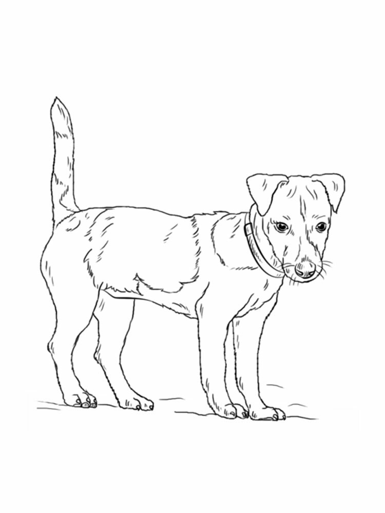 Jack Russell Terrier Coloring Pages