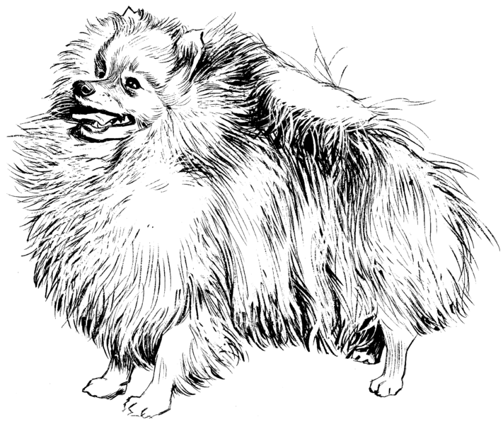 Realistic Pomeranian Coloring Page