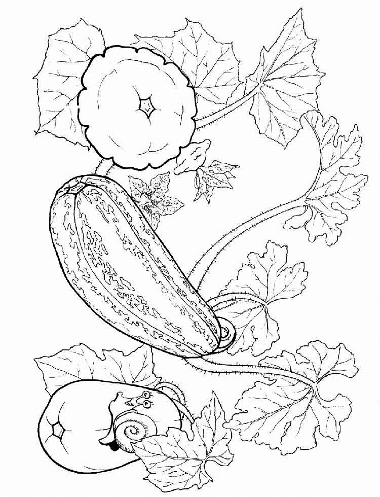 Squash On A Vine Coloring Page