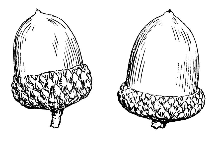 Two Acorns Coloring Page