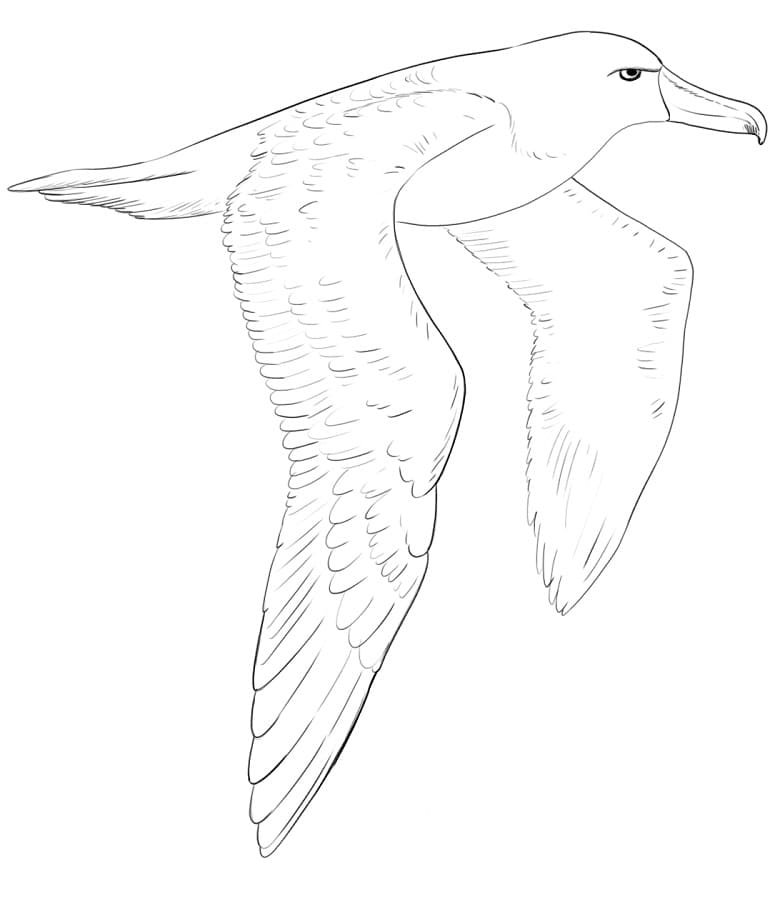 Realistic Albatross Coloring Page