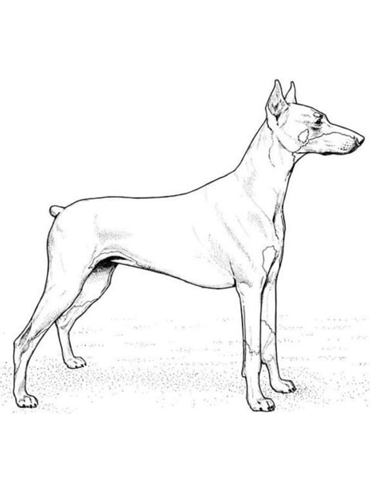 Realistic Doberman Pinscher Coloring Page